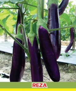 terong ungu reza